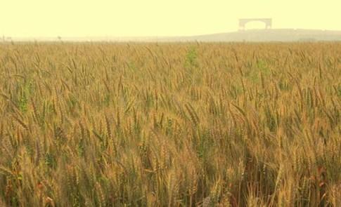 久違的麥香──記東石喜願小麥收割
