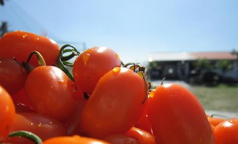一抹橙光化甜蜜:美濃的橙蜜香小番茄