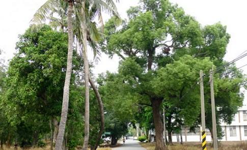留下綠樹給未來:台南仁德糖廠百年老樹群