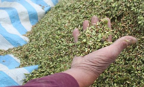 本土小麥陸續收成,企業相挺相伴工