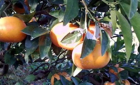 橘子紅了!茂谷柑的傳奇