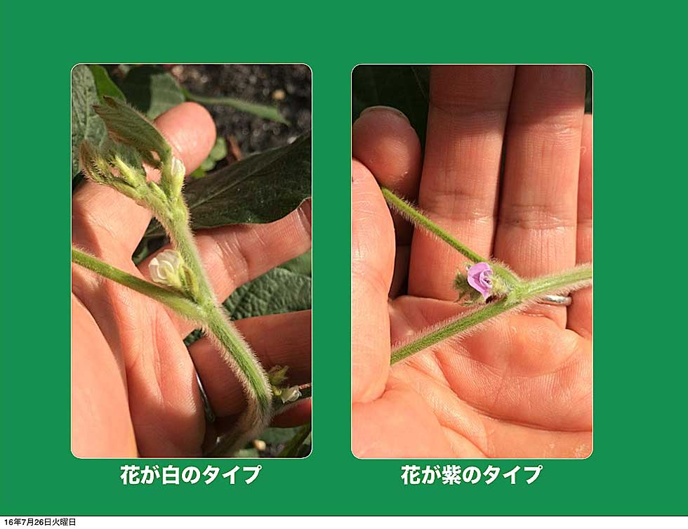 路旁發現開出白色和紫色小花的黃豆植株(圖片提供/八田純人)