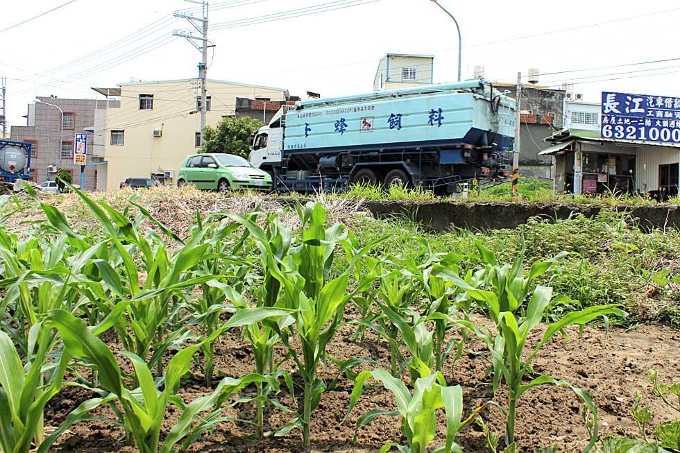 距離永安工業區數百公尺處有玉米田,位於飼料車必經之路(攝影/蔡佳珊)