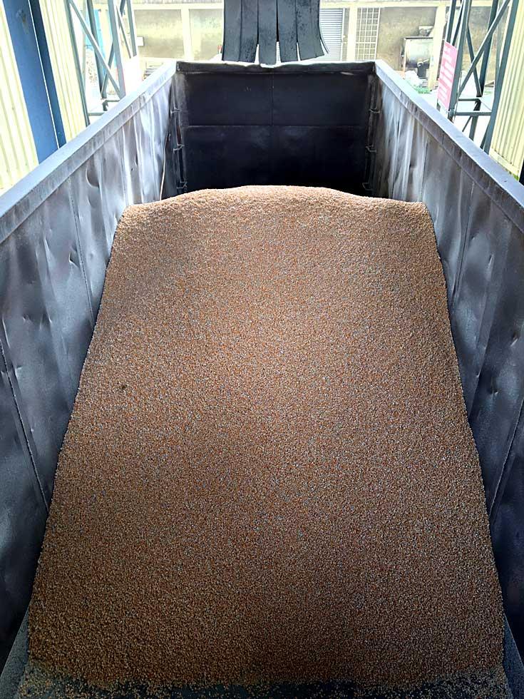 本土玉米裝填入卡車