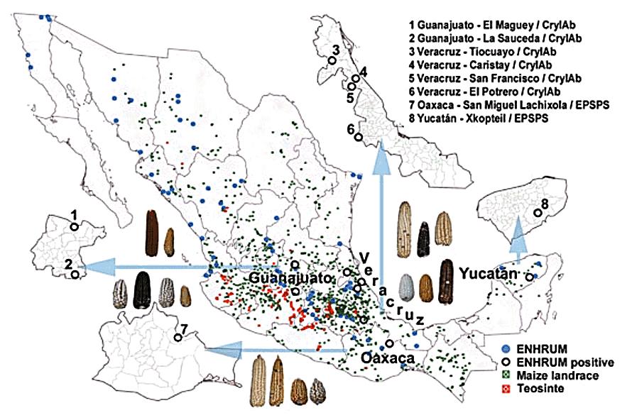 墨西哥原生種玉米遭基改污染情形,黑色圓圈為污染地點(資料來源/Testbiotech的2013年調查報告《Transgene escape - Global atlas of uncontrolled spread of genetically engineered plants》)