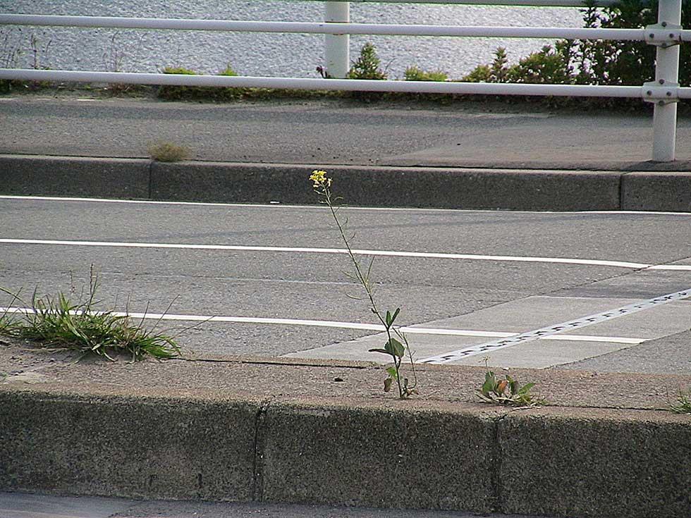 2008年5月4日於兵庫県神戸港周邊拍攝。檢驗後為一般的非基改油菜。(圖片提供/八田純人)
