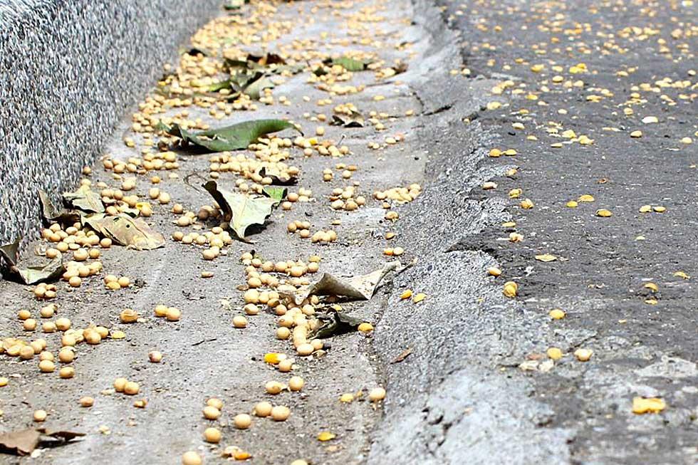 路旁散佈大量基改黃豆