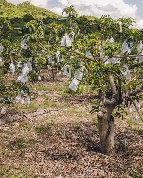 mango-63-480-2r