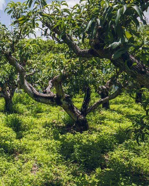 mango-7-480-2r