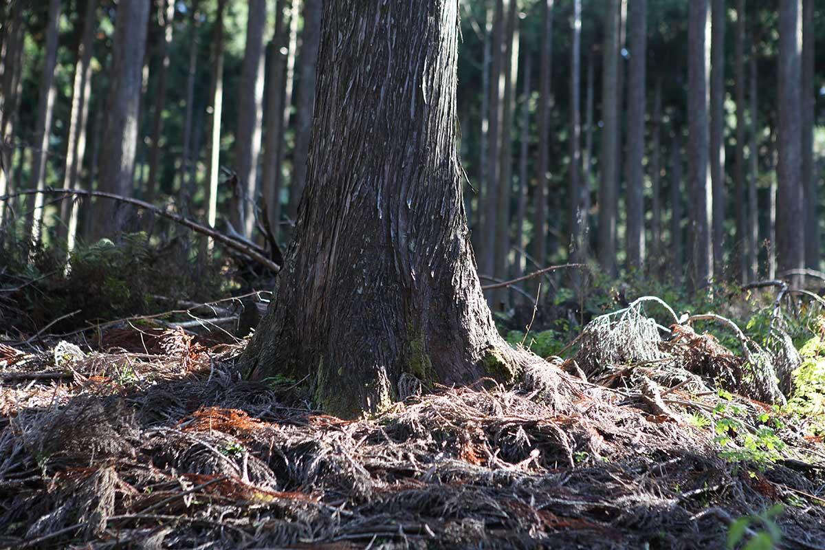 西粟倉村大樹。攝影/Alittle
