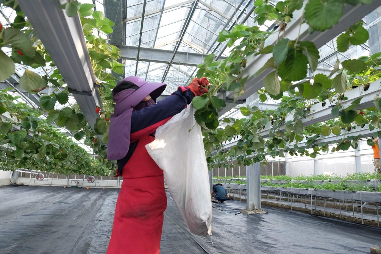 高架栽培的草莓2