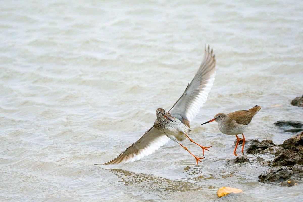 赤足鷸降落在地勢較高的灘地,雙翼與雙足身長的樣貌,那一瞬間時間彷彿凍結了。(攝影/王力平)