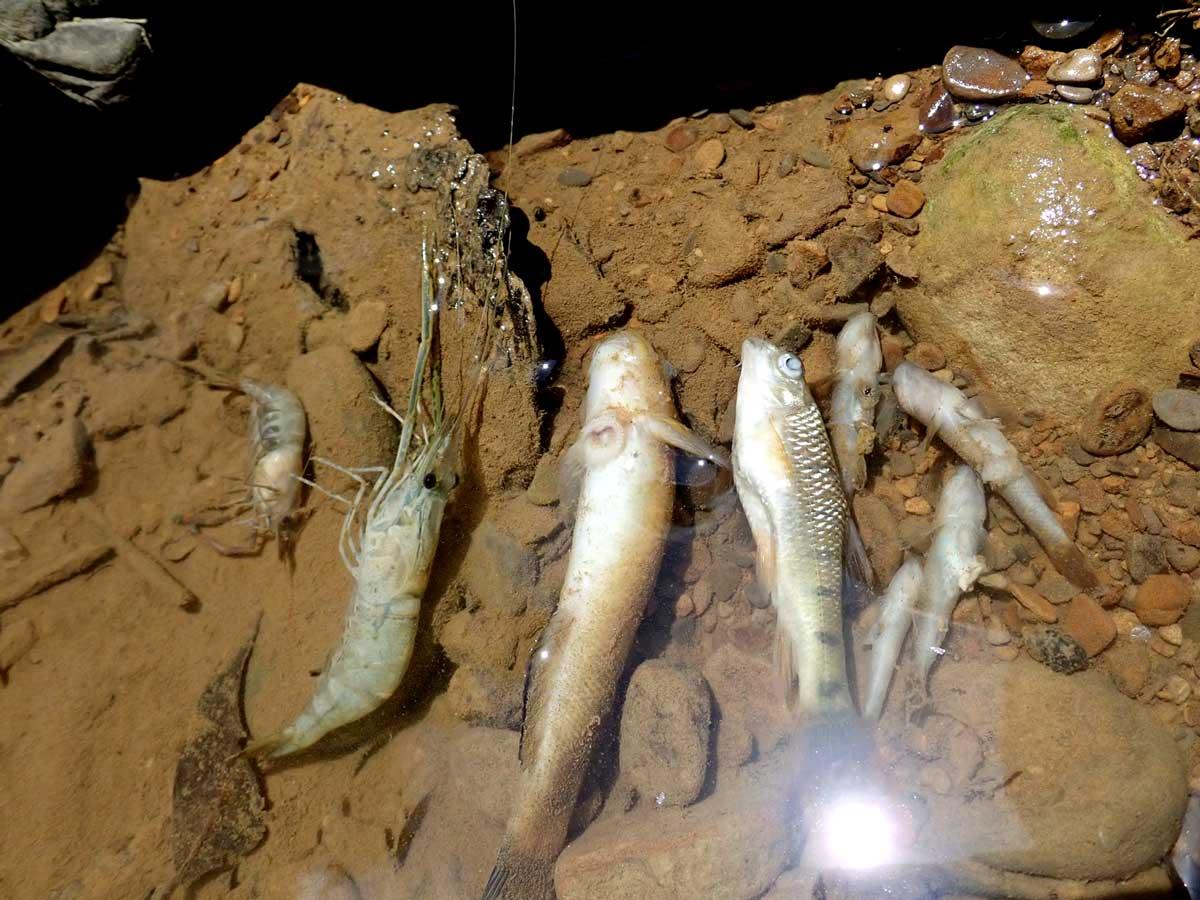 施工後死亡的魚蝦。攝影/李政霖