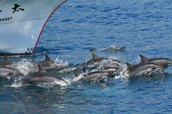 賞鯨船與船前乘浪海豚群,攝影/廖鴻基