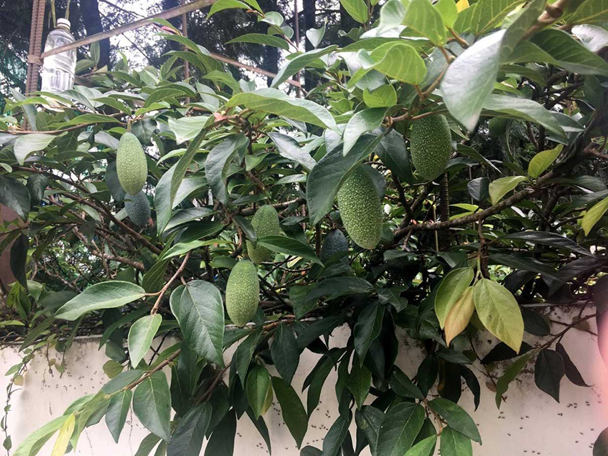 某一爬藤植物密覆著,露出青綠的碩大果實,乍看似芒果。攝影/劉克襄