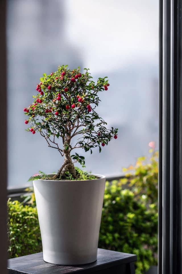 小葉黃褥花,又稱李氏櫻桃。 攝影/李佳曄