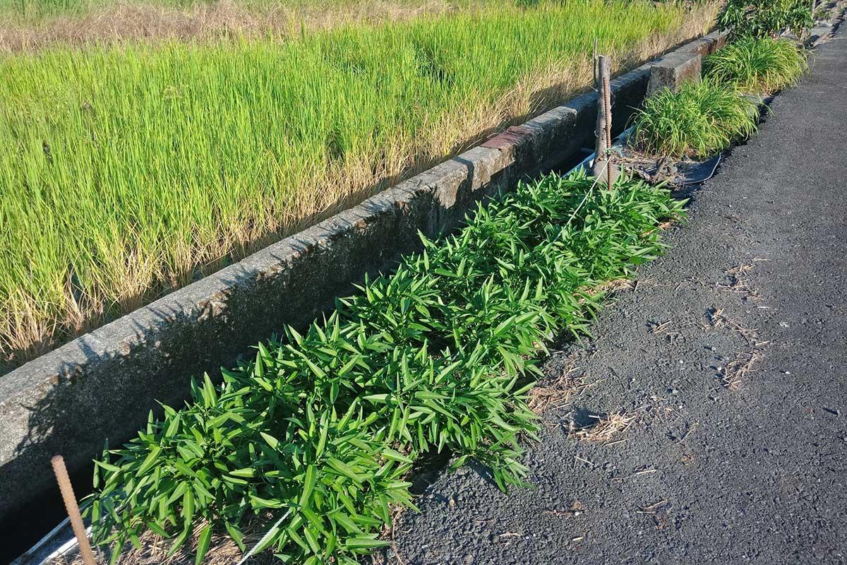 老農珍視每一寸土地,會利用正路與溝渠間的狹長畸零地來種菜 (攝影/李盈瑩)