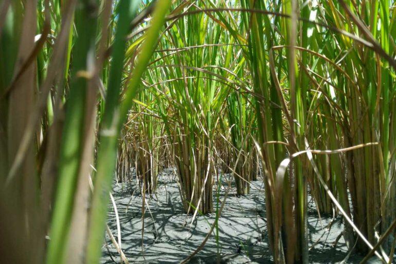 微生物將礦物質送進植物的根,植物則回饋它們糖。水稻補充元氣後,再次青春。(攝影/陳煥中)