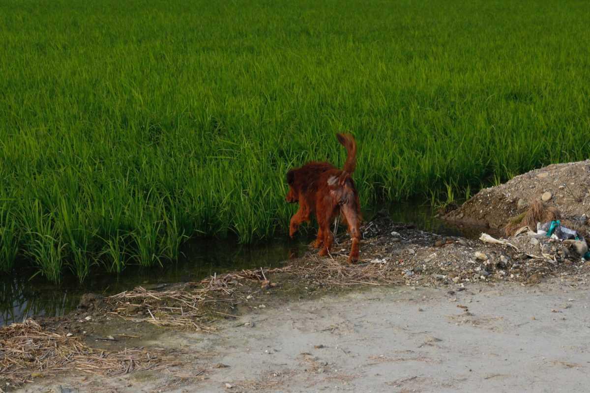 長大後見過東部的水田,才明白爸爸的為稻田找水,是件辛苦的事情。 (攝影/許育銀)