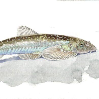 台東爬岩鰍(繪圖/李政霖)