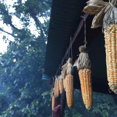曬乾的玉米,有時會放在家屋的爐灶上加快燻燥(攝影/廖昀靖)