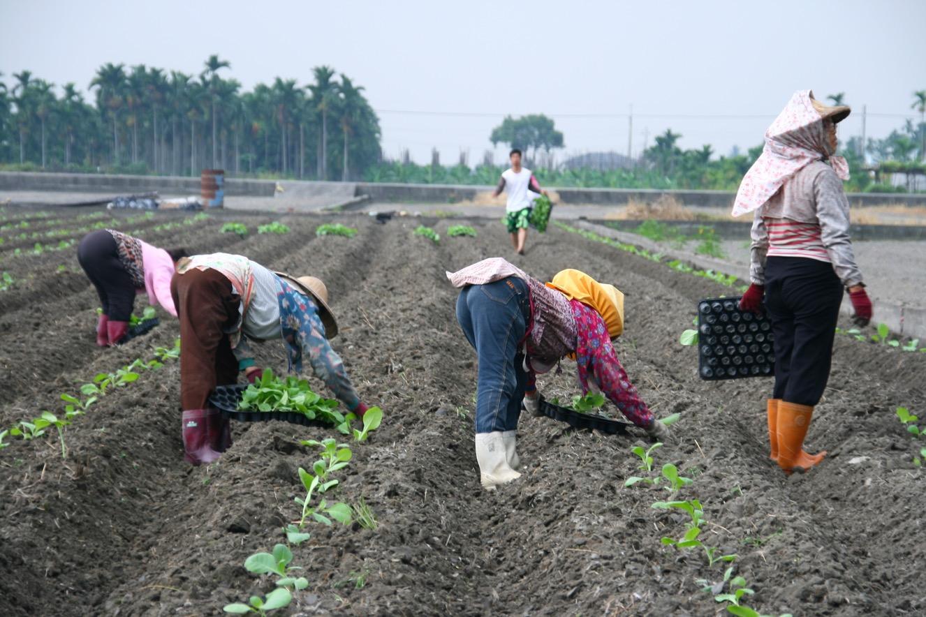 種菸需要大量人力同時進行,大家一起組成交工班分工合作依序完成各家農事,是最有效率的工作方式。-1326