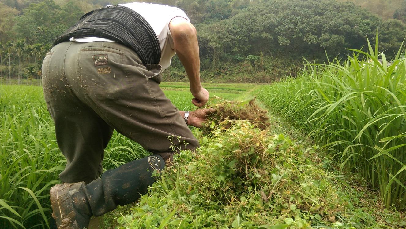 老菸農在菸葉採收後繼續種植一期稻,就跟過去一樣,他認分地在田埂上除草。只是未來,已經無菸可種。-1326