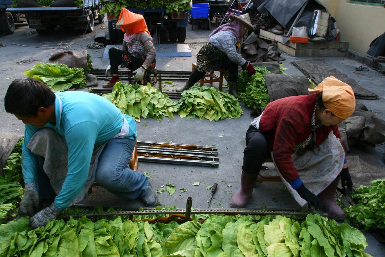 1-交工班是農家勞動力的交換,通常是親子檔、夫妻檔、姊妹檔、兄弟檔,到各個農家共同完成所有菸葉工作。-1326