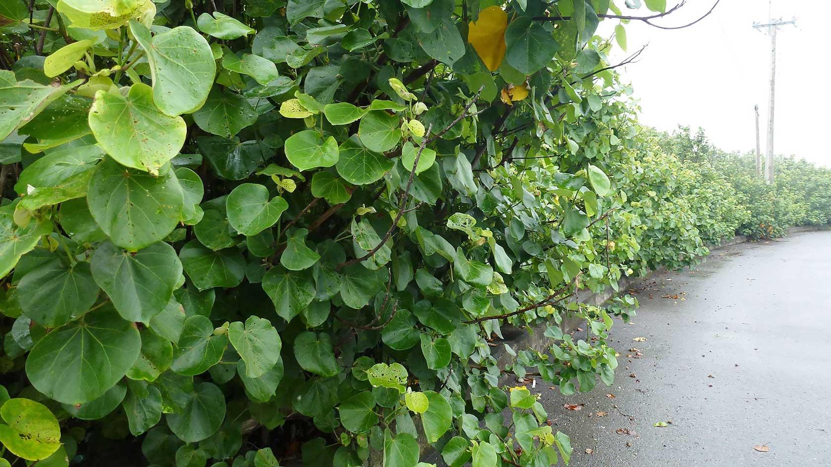 一整排的黃槿防風林(攝影/柯金源)
