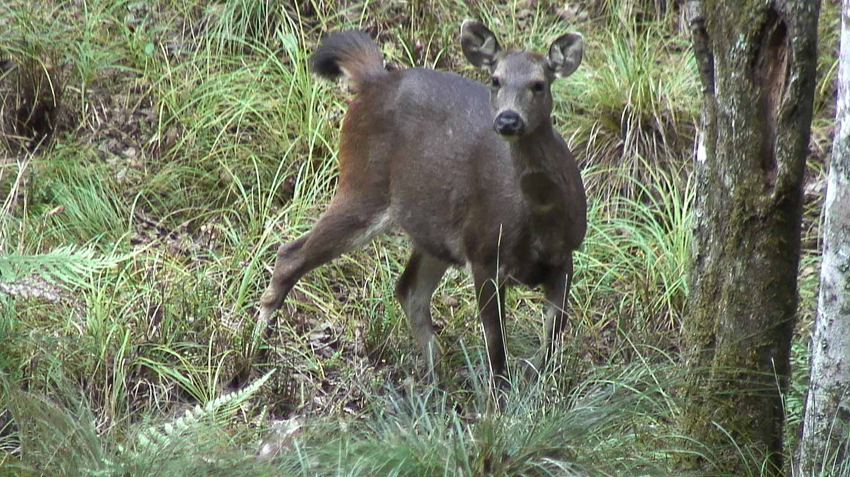 中央山脈大分山區的水鹿(攝影 / 柯金源)
