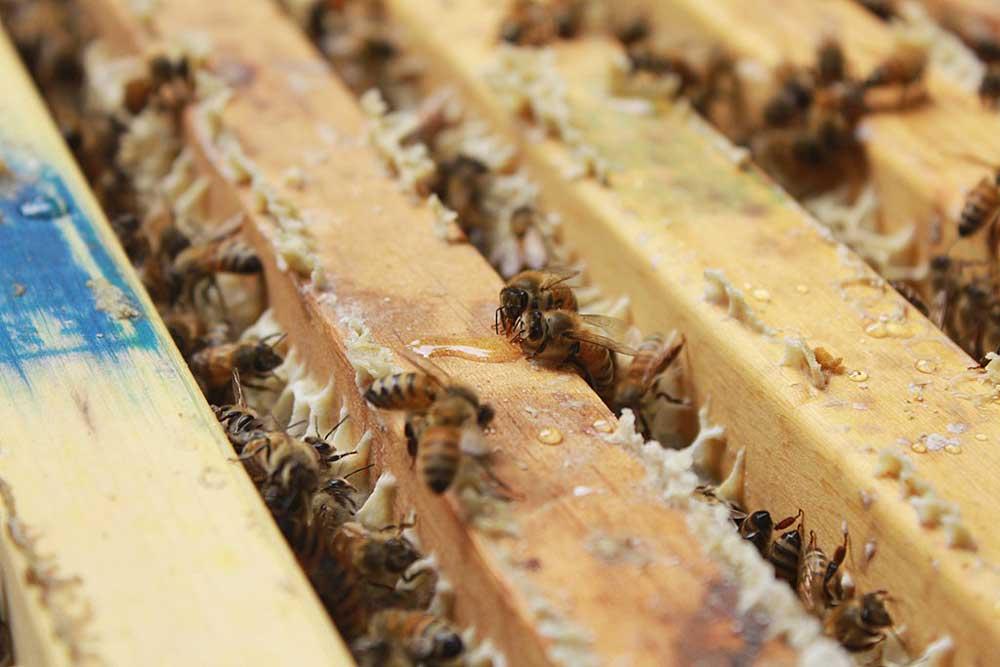 被蜂蜜吸引來的小蜜蜂。