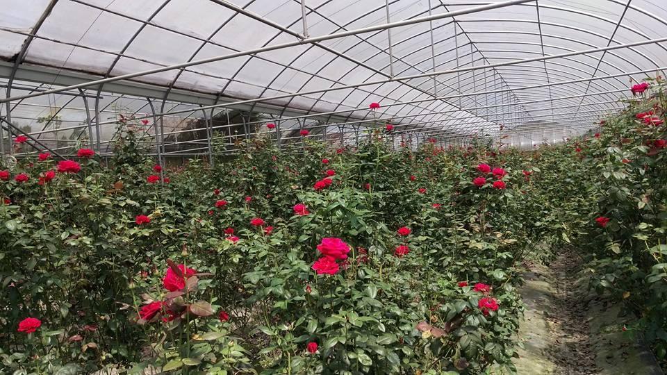 園區玫瑰花