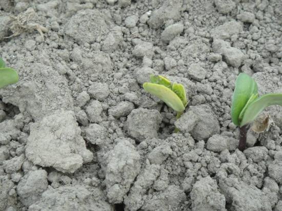 小毛豆發芽