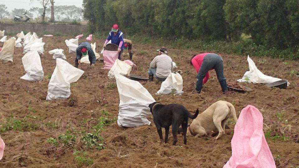 狗狗也一起加入挖地瓜的行列