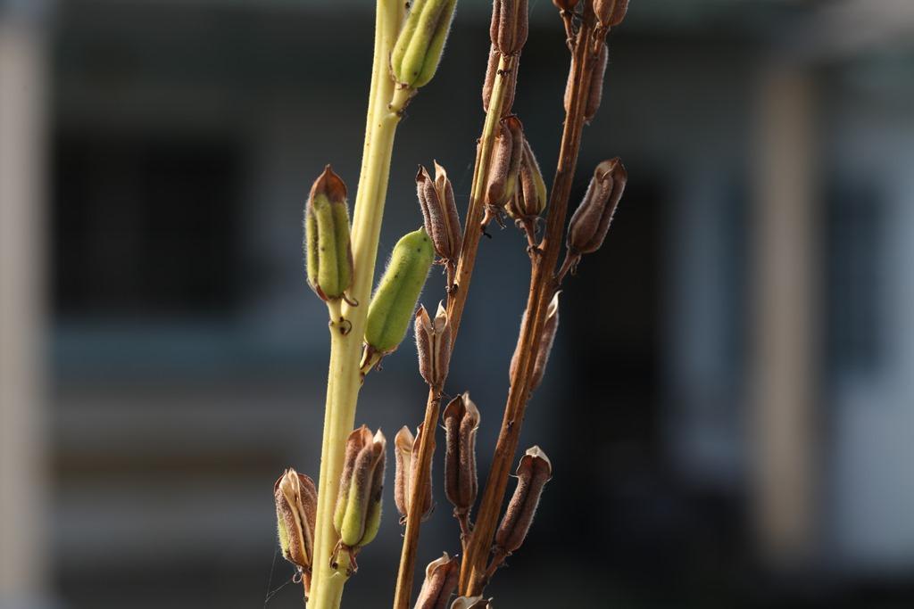 芝麻成熟時,果莢會變成咖啡色(右),還沒熟的果莢則是青色(左)