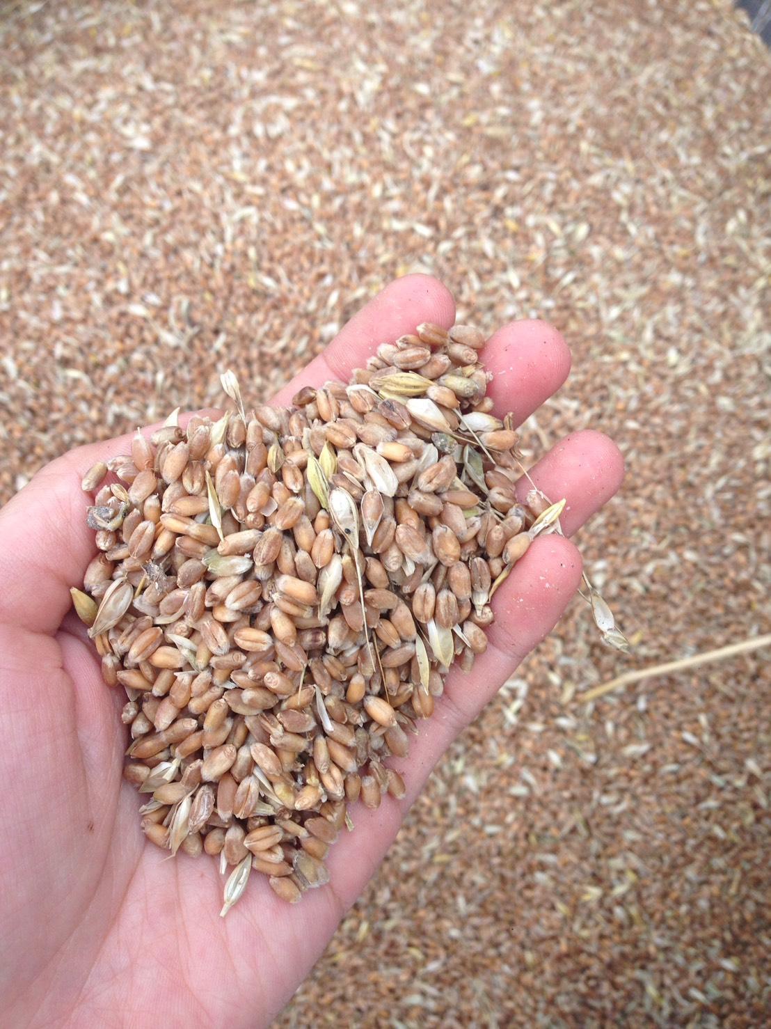 剛採收起來,還未整理過的新鮮小麥粒。