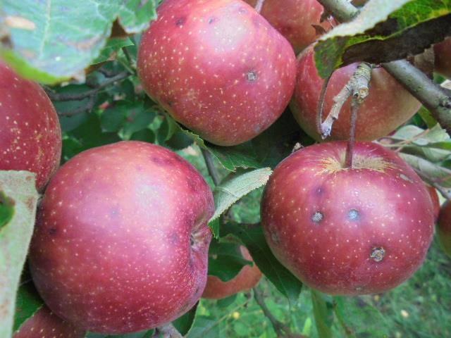 吳文旭大哥在宜蘭太平山區種植自然農法的水果,例如蘋果、水蜜桃、橘子。