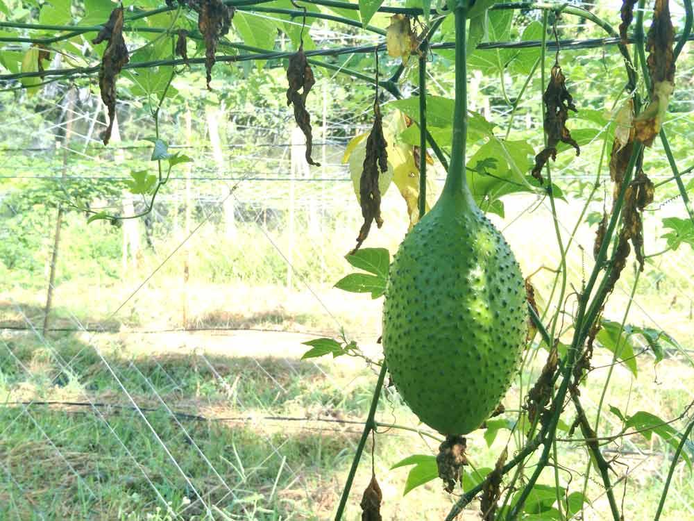 常見的吃法是將未成熟的木虌果青果燉湯或清炒。