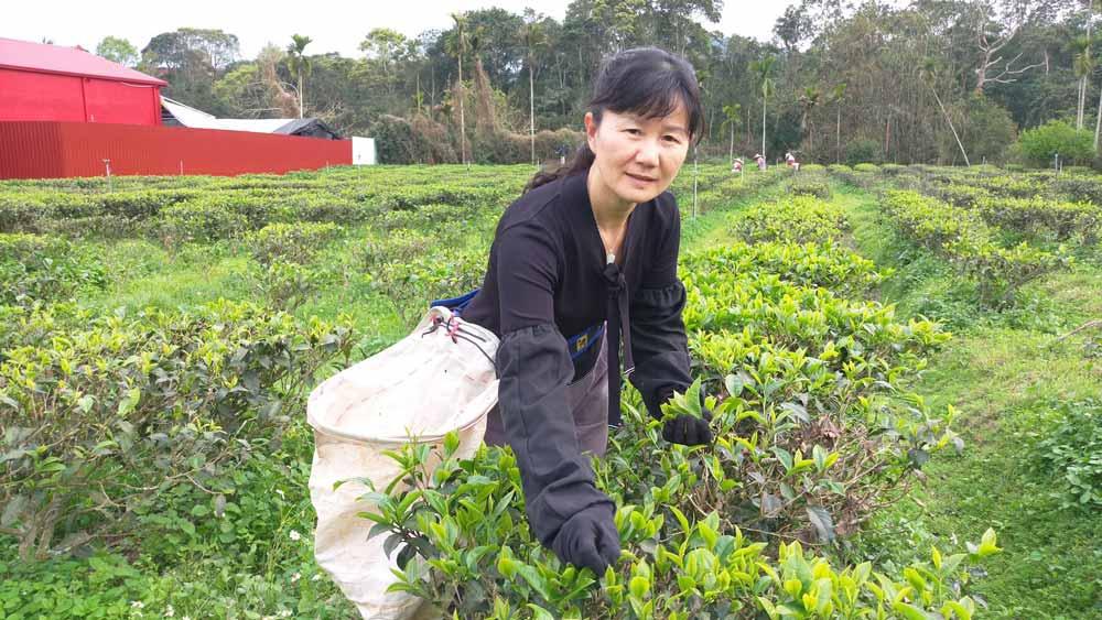 手採的新鮮茶葉