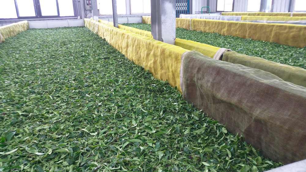 紅茶採下後,須放置一段時間,讓茶葉萎凋,釋出水分。