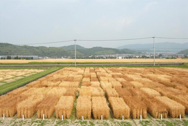 ラー麦畑2(古庄先生提供)