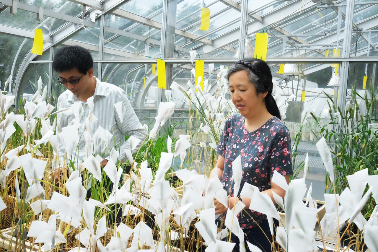 03 持續育種 開發小麥潛力